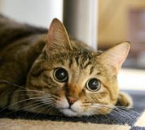 可愛い目がパッチリのトラネコ