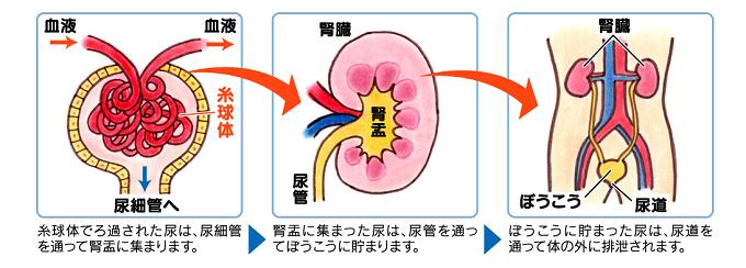 腎臓の仕組み
